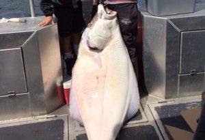 Halibut fishing Kodiak Alaska